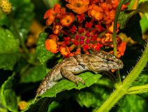 Curious Yellow Eyed Gecko and Orange Flowers Royalty Free Stock Photo