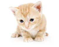 Curious yellow kitten Royalty Free Stock Photography