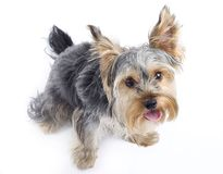Curious Yorkshire terrier Royalty Free Stock Photos