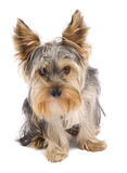 Curious yorkshire terrier Royalty Free Stock Images