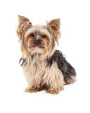 Curious Yorkshire Terrier Dog Sitting Looking Forward Royalty Free Stock Images