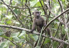 Curious Young Baboon Stock Images