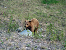 A curious young bear in british columbia Royalty Free Stock Images