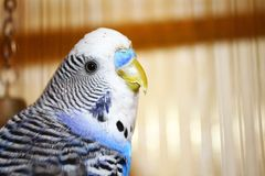 Curious young blue budgerigar portrait Stock Photos
