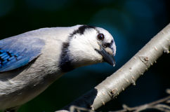 Curious Young Blue Jay Looking You in the Eye Royalty Free Stock Photography