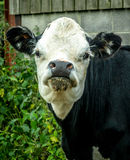 Curious Young Bull Royalty Free Stock Photos