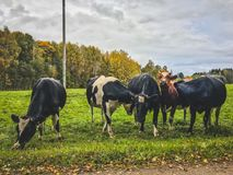 Curious young bulls in the green field. At Lithuanian country side. Autumn season Royalty Free Stock Image