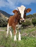 Curious young calf in a meadow Stock Images
