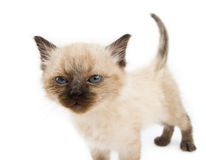 Curious young cat. Looking over white background royalty free stock photography