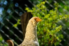 Curious Young Chicken Close-Up Stock Image