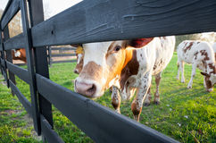 Curious Young Cow Royalty Free Stock Photo