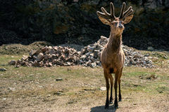 Curious Young Elk ( Wapiti ) in Spring Velvet Stock Photos