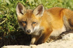 Curious young fox looking at the camera Royalty Free Stock Photography