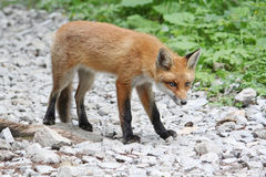 A curious young fox looking wary. Curious young red fox looking warily, standing on stones Stock Photos