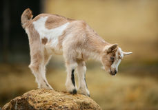 Curious young goat on the rock. Curious young goat on rock looking down Stock Image