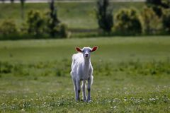 Curious young goat standing on a sunny meadow stock images