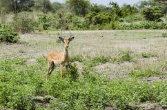 Curious young impala Stock Photography