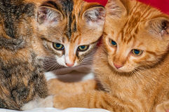 Curious young kittens. Curious and focused young kittens Stock Image