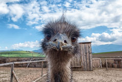 Curious young Ostrich Royalty Free Stock Image