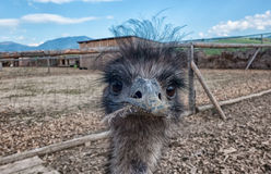 Curious young Ostrich Royalty Free Stock Photos