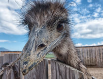 Curious young Ostrich Royalty Free Stock Photo