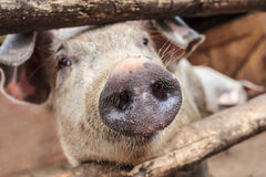 Curious young pig in a wooden stable Royalty Free Stock Photos