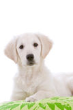 Curious young puppy dog Stock Images