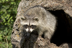 Curious Young Racoon Stock Photos