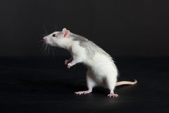 Curious young rat Royalty Free Stock Photography