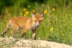 Curious young red fox Stock Photos