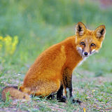Curious young Red Fox Royalty Free Stock Photo