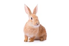Curious young red rabbit Royalty Free Stock Photos