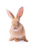 Curious young red rabbit Stock Photos