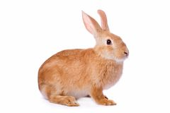 Curious young red rabbit isolated Royalty Free Stock Photos