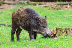 Curious young scrofa Royalty Free Stock Photography