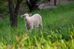 Curious young sheep Stock Photography