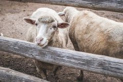 Curious young sheep standing behind wooden fence. Domestic animal. Production of wool. Farm and livestock theme royalty free stock photo