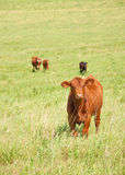 Curious young steer in prairie pasture Stock Images