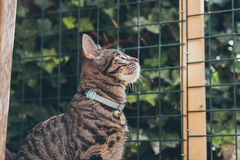 Curious young tabby cat looking through fence in garden. Royalty Free Stock Images
