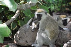 Curious young Vervet monkey Royalty Free Stock Image