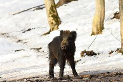 Curious young wild boar. In winter forest  Sus scrofa Royalty Free Stock Image