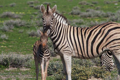 Curious young zebra and her mother Stock Images