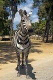 Curious zebra Stock Photography