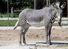 Curious zebra Royalty Free Stock Image