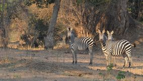 Curious zebras Stock Photo