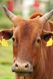 Curious zebu portrait Royalty Free Stock Photos