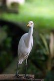 Curioused kranfågel Arkivbilder