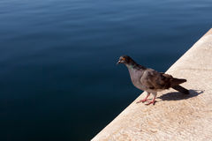 Curioused pigeon Royalty Free Stock Photos