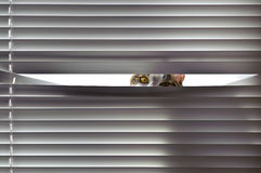 Curiousity. Curious cat looking through blinds Royalty Free Stock Photography