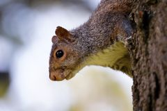 Curiousity. Close-up of a squirrel looking at the camera with curiosity Stock Photo